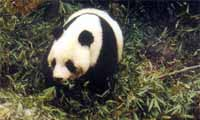 chengdu, nationale trots: panda